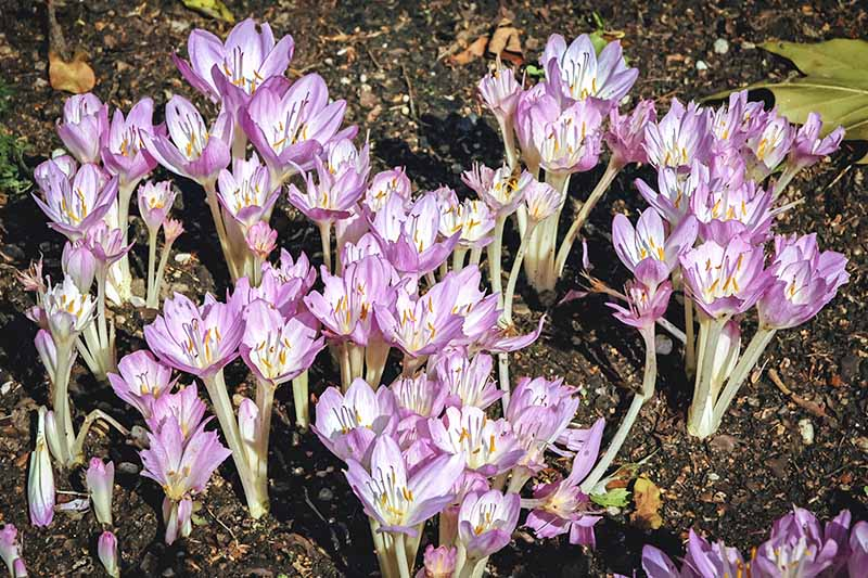 Pale lavender and white colchicum flowers on white stems with no foliage, growing in brown soil.