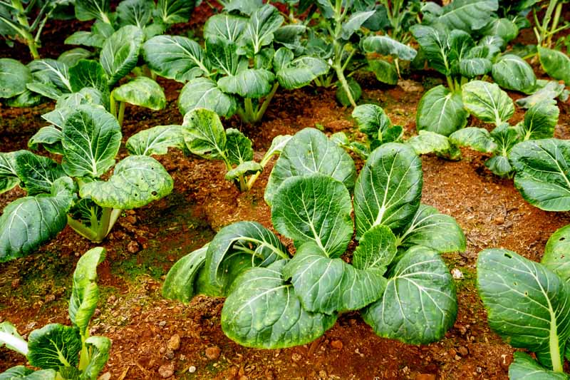 Oblique view of collard greens growing in a fall garden.