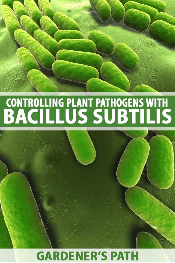 A graphic depicting a microscopic view of Bacillus subtillus