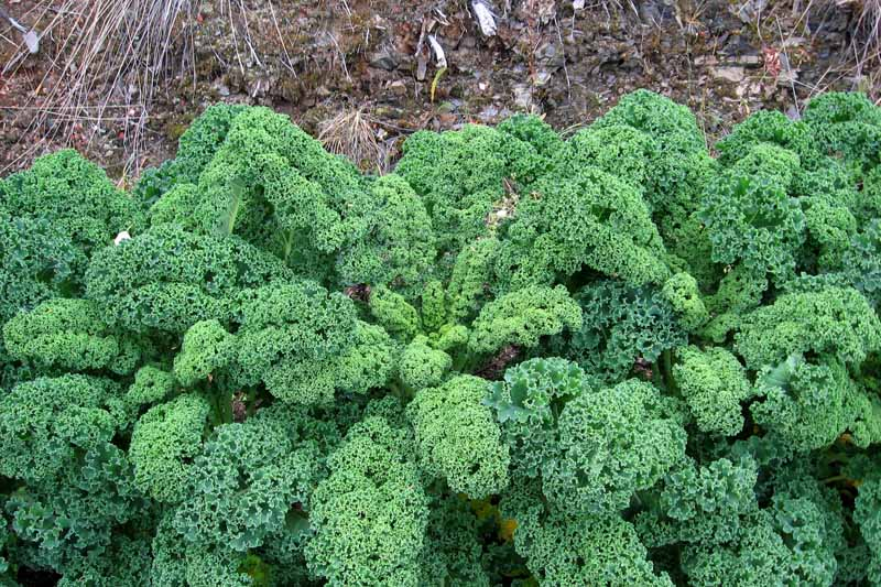 Top down view of curly kale being grown in the cool weather of autumn.