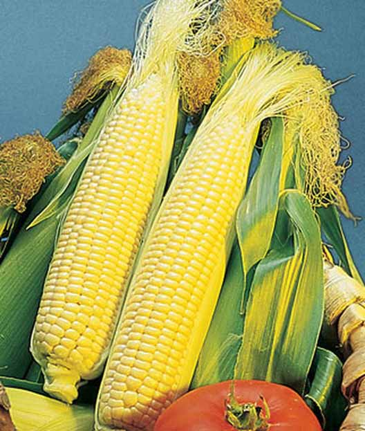 Freshly harvested 'golden bantam' ears of corn dehusked.