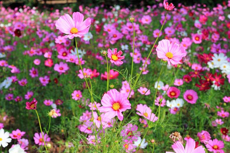 A field full of pink Cosmos (Cosmos bipinnatus) in bloom.