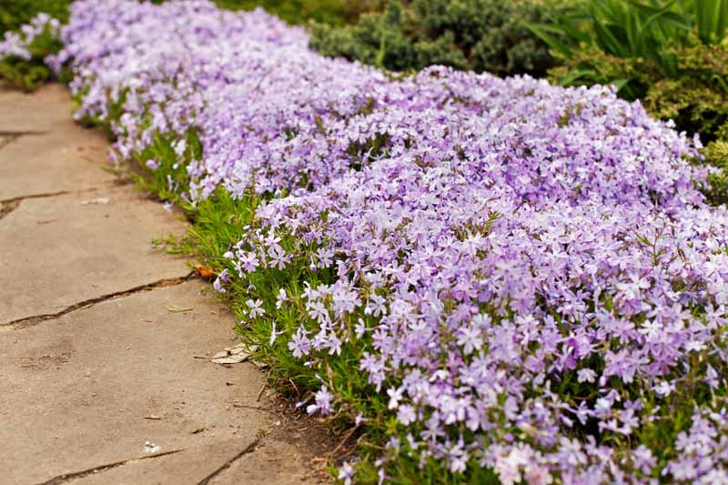 A garden bed planted with short creeping phlox, with pale purple flowers and green leave, along a tan stone pathway.