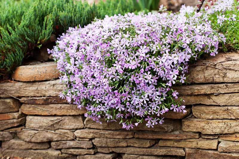 Pale lavender-pink creeping phlox cascading over a brown rock wall, with an evergreen shrub growing in the background.