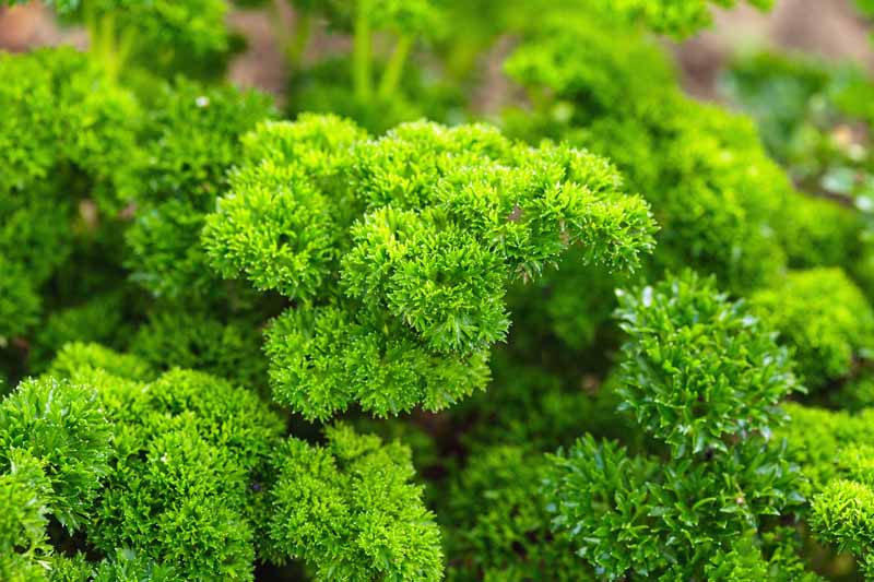 Close up of green, fresh curly parsley.