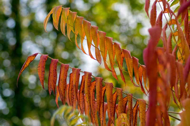 Cutleaf staghorn sumac (Rhus typhina 'Laciniata') with orange and red leaves in the autumn.
