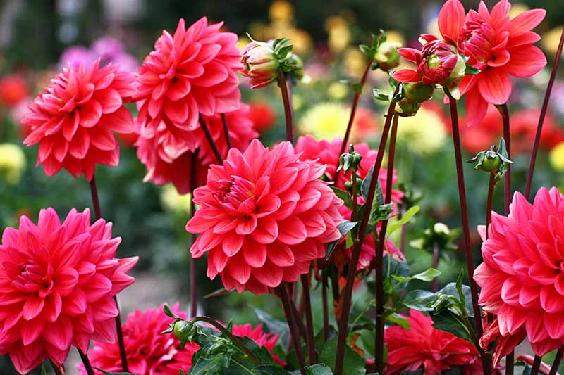 Many blooming dark pink dahlia flowers on long stems, with green foliage.