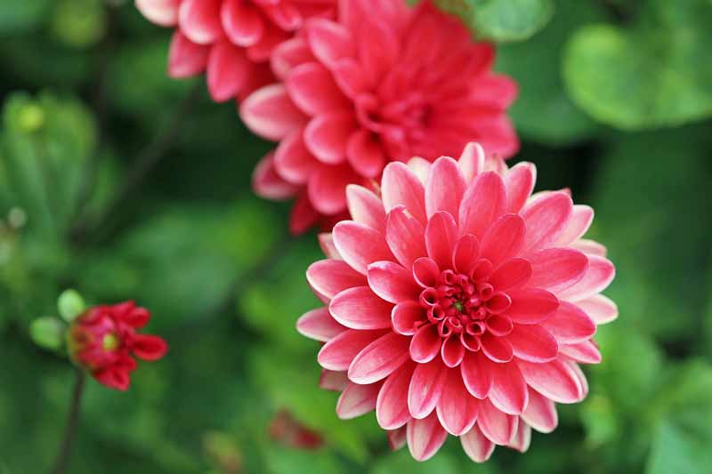 Close up of red dahlia flowers in bloom.