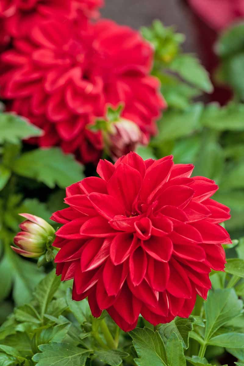 Vertical image of two red dahlia flowers with several buds about to bloom and green leaves.