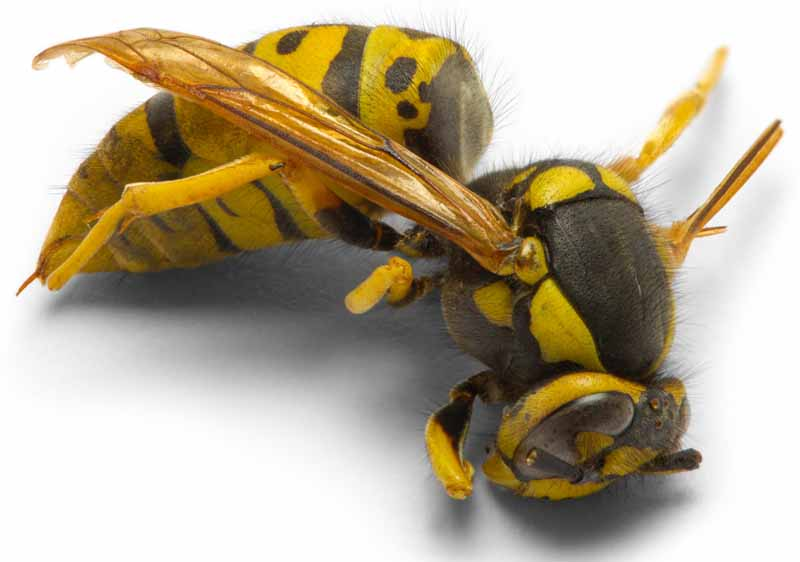 A dead yellowjacket on a white, isolated background.