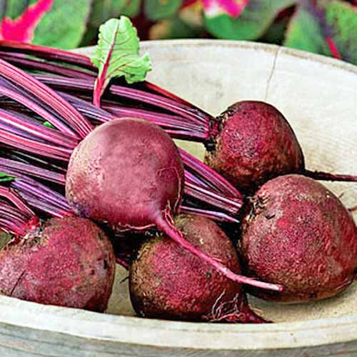 A beige bowl of five 'Detroit Dark Red' beets with purple stems and green leaves.