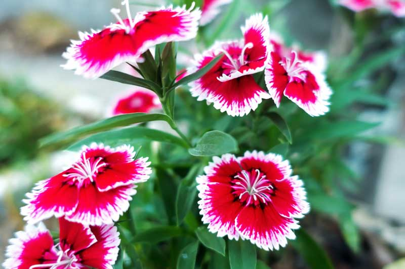 Dianthus Chinensis Flowers with pink centers and white outer frignes.