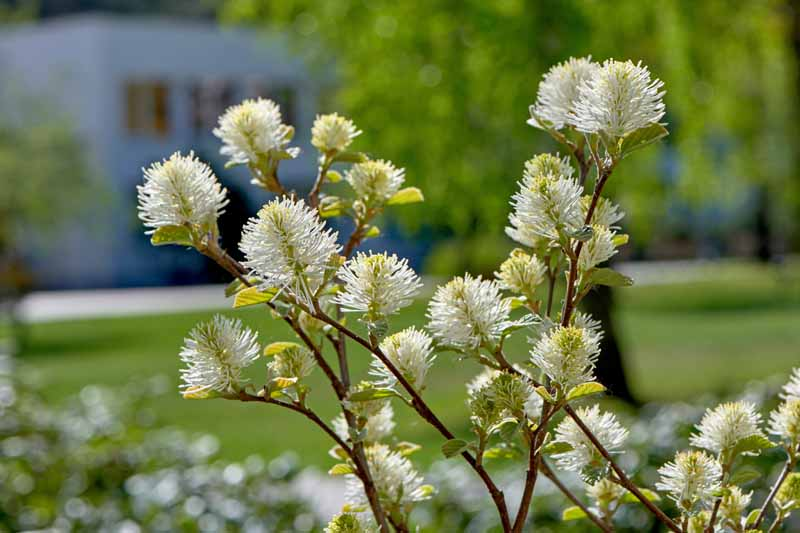 Autumn flowers of the Dwarf Fothergilla (Fothergilla gardenii) bush.