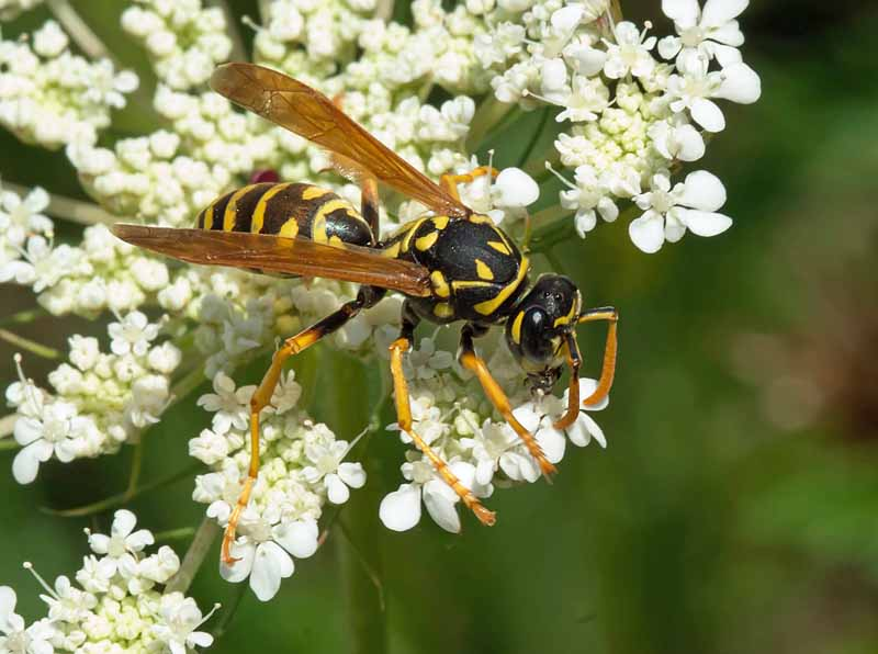 A European Paper Wasp collecting nectar on wild carrot blooms.