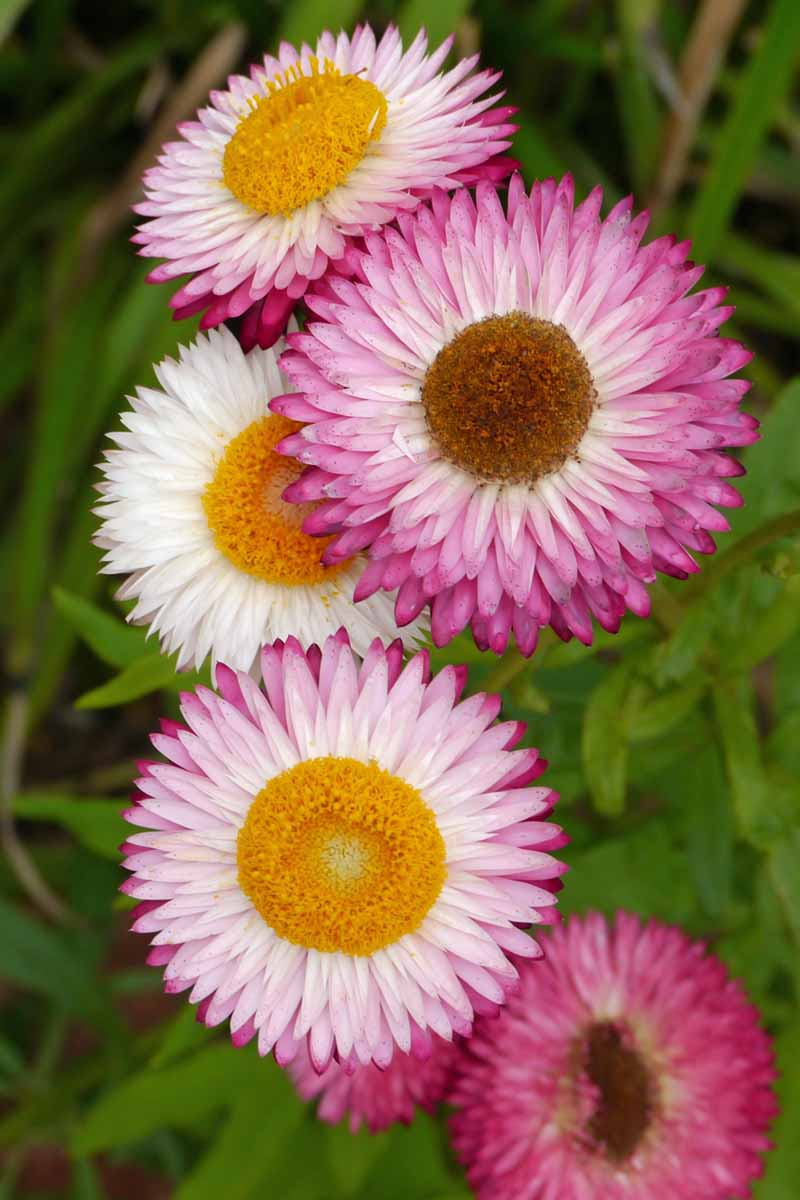 Close up of white, purple, and pink everlasting strawflowers.