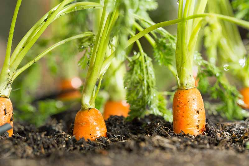 Close up of carrots in a garden ready to be harvested.