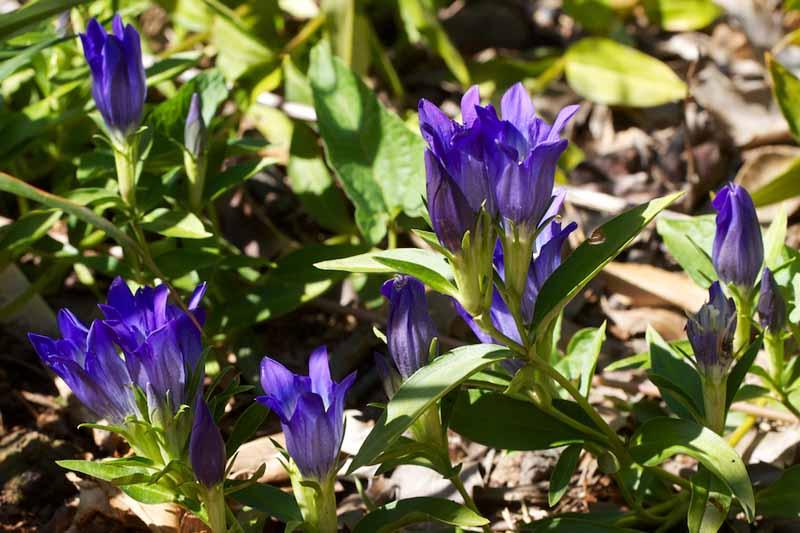 True Blue Gentian (Gentiana x intermedia 'True Blue')