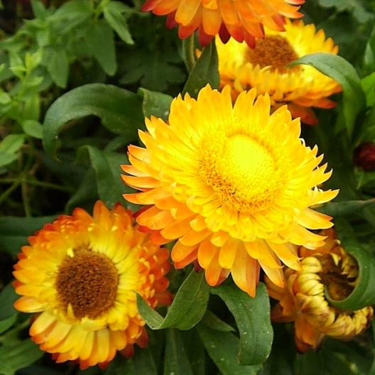 Golden Yellow strawflower blooms, closeup.