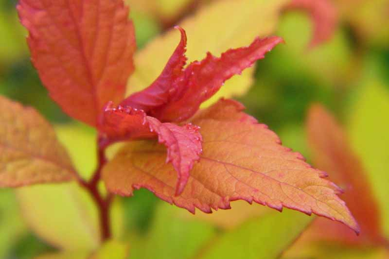 Autumn foliage of Goldflame Spirea (Spiraea japonica 'Goldflame'). Close up.