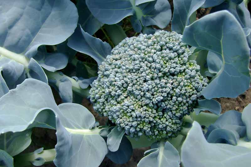 Top down view of a green head of broccoli growing in a fall vegetable garden.