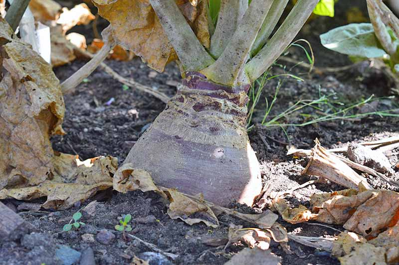 Horizontal closeup image of a dusty purple rutabaga with leaves emerging from the top, in dark brown soil among withered leaves.