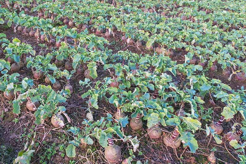 Horizontal image of a field of purple rutabagas with green tops, growing in brown soil.
