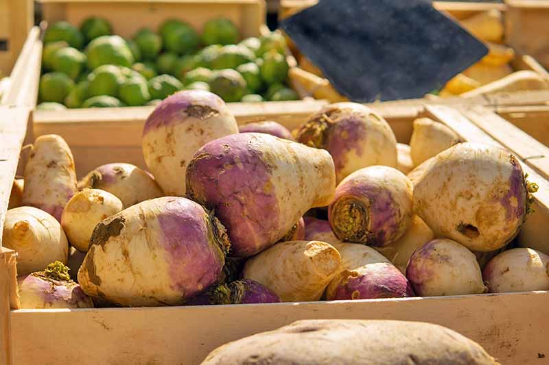 A wooden crate of harvested white and purple rutabagas, with roots and tops removed, in afternoon sunshine with other crated produce ready for use or sale in the background.