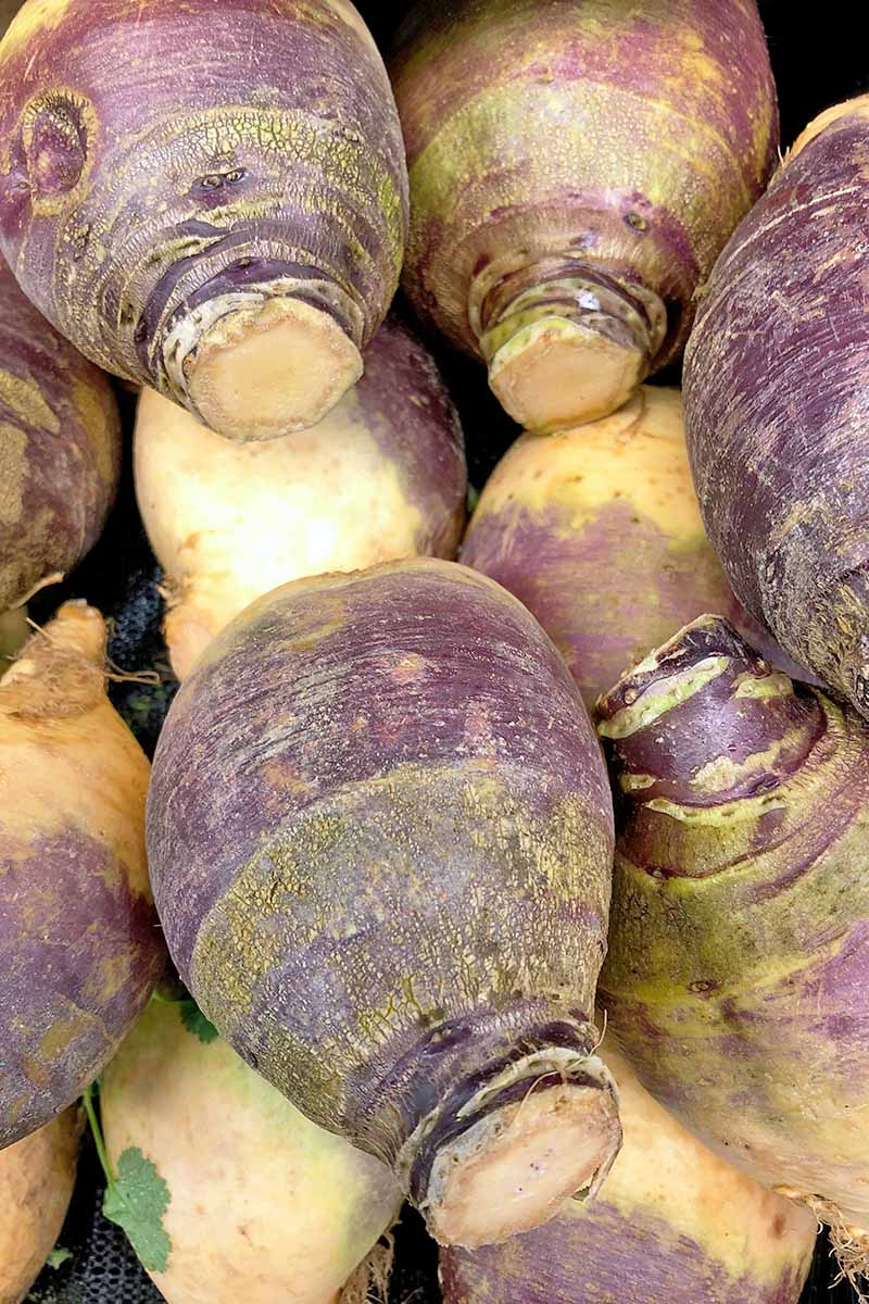 Vertical closeup image of harvested purple and cream-colored rutabagas, on a black background.