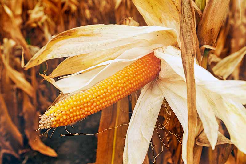 Horizontal image of a cob of dry yellow popcorn with a folded back dried husk on a dried light brown stalk, with more dried cornstalks in the background.
