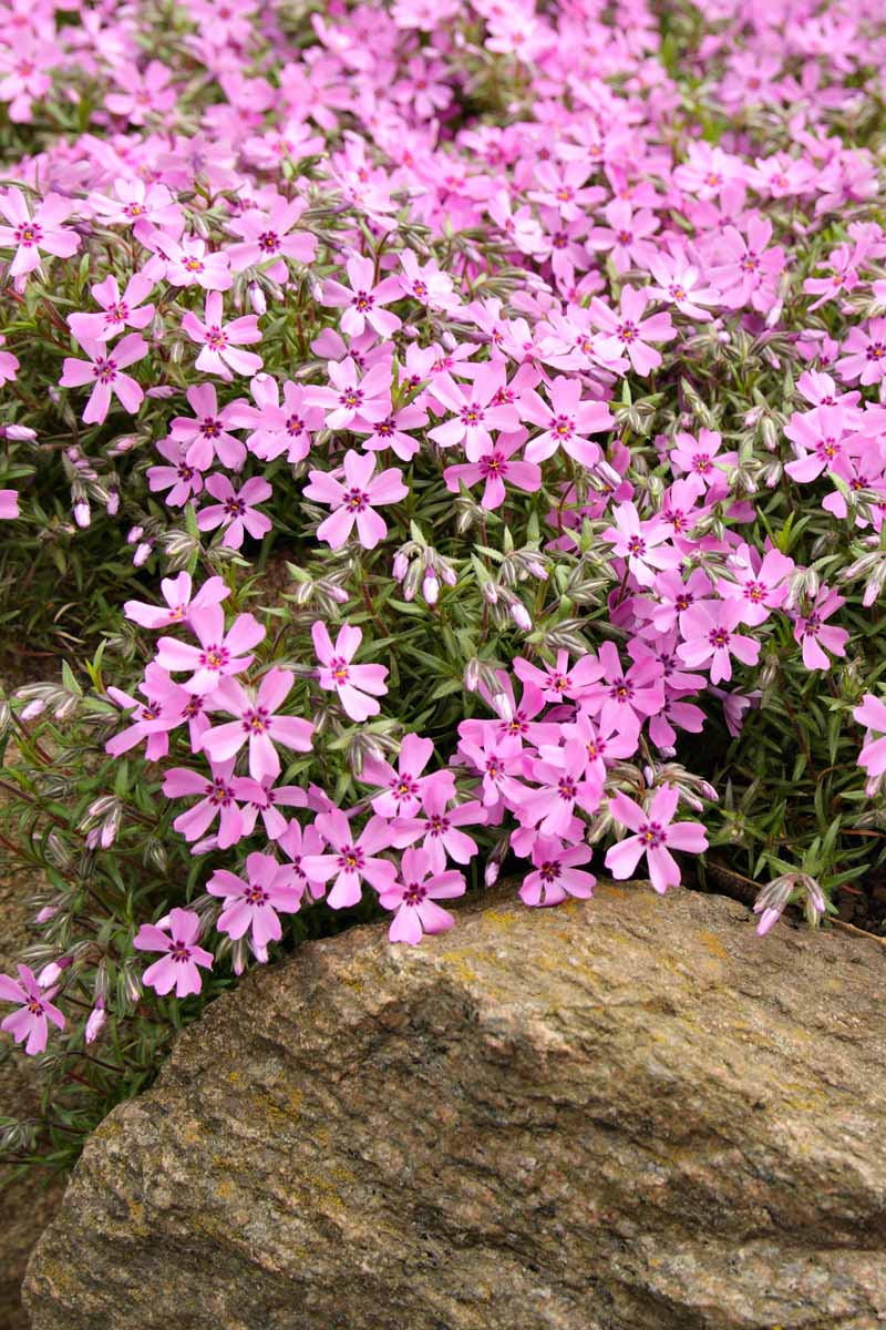 Pink five-pointed creeping phlox flowers with small green leaves, growing over and between large brown rocks.