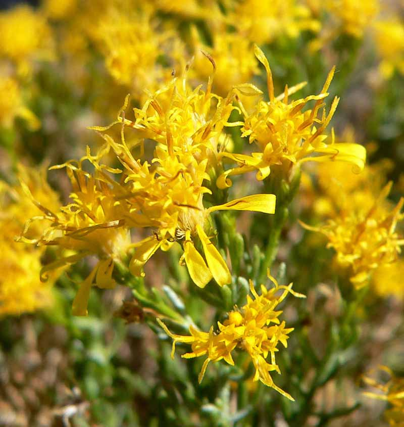 Close up of the yellow flowers of Ericameria laricifolia.
