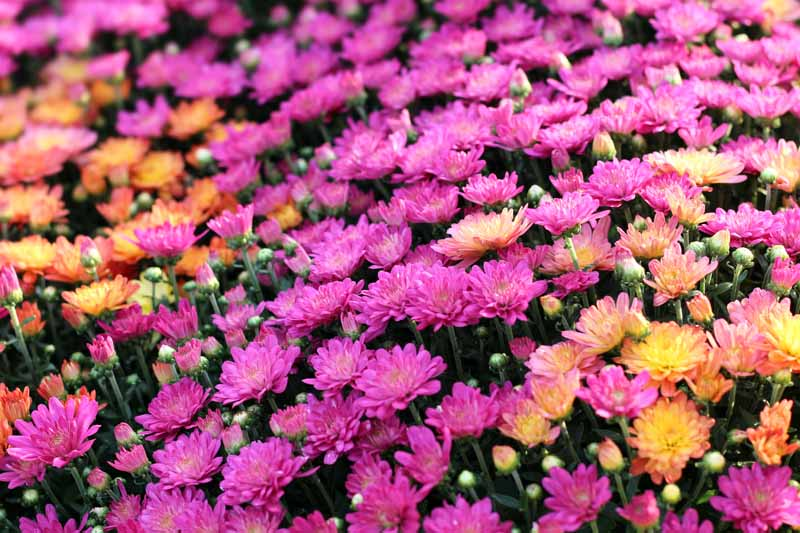 Pink and orange hard mums in bloom.