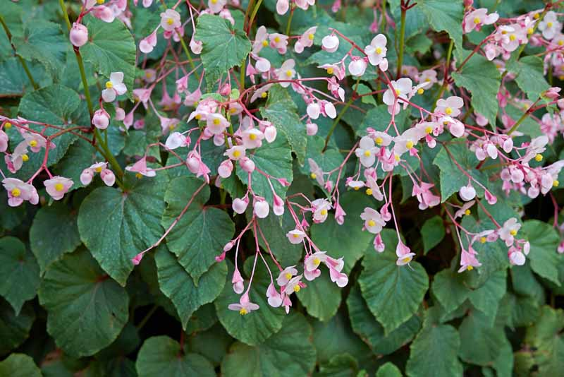 Pink flowers of a hardy begonia in bloom.