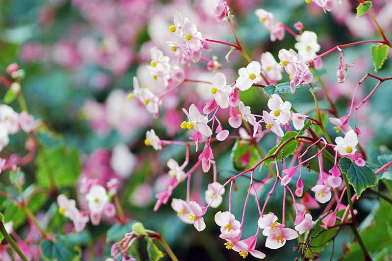 Light pink hardy begonia flowers, with darker pink stems and green leaves in soft focus in the background.