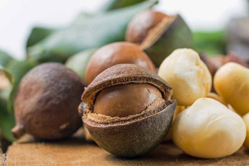 Closeup horizontal image of harvested macadamias with some still in their husks and some peeled.