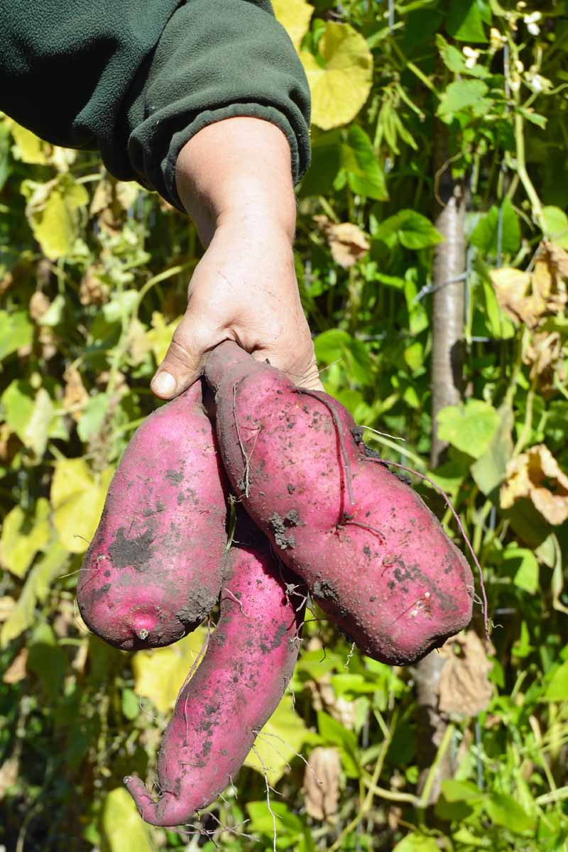 A human arm and hand holds up three freshly dug sweet potatoes.