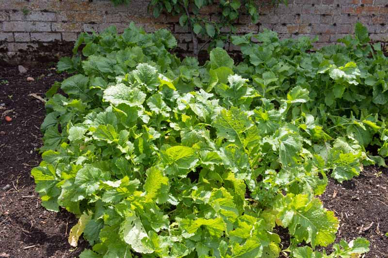 A healthy turnip patch grown in an allotment next to a brick wall.