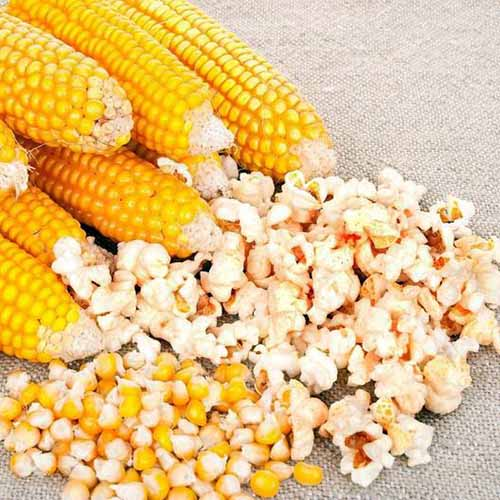 The Best 7 Varieties Of Popcorn To Grow Your Own Gardener S Path