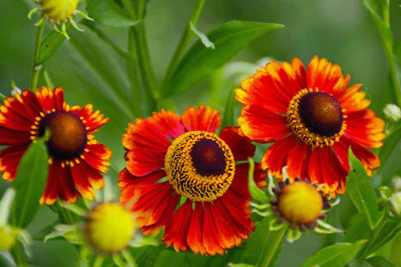 Helenium (Helenium autumnale) flowers in bloom. Close up.