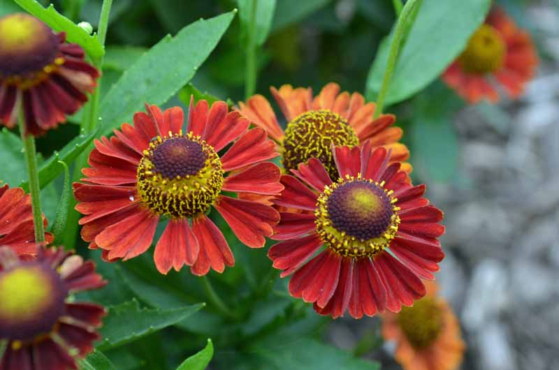 Close up of two orange red helenium flowers in bloom.