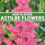 A bright pink Astilbe flower in bloom.