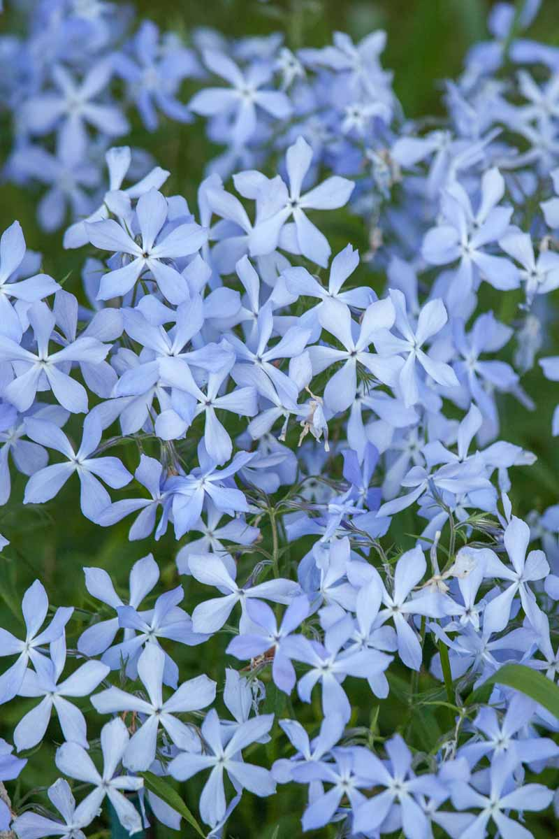 Vertical image of pale blue five-pointed phlox flowers.