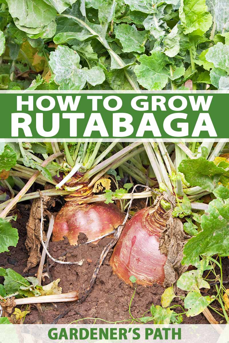 Vertical image of two reddish rutabagas growing in brown soil, with green stems and leaves on top, in bright sunshine, printed with green and white bands of text at the midpoint and the bottom of the frame.