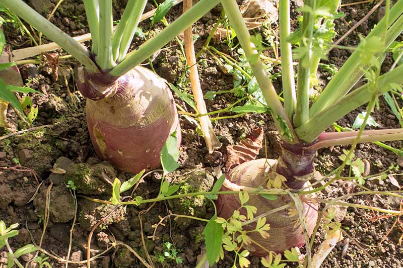 Horizontal image of two purplish rutabagas growing on brown soil, with light green stems and leaves.