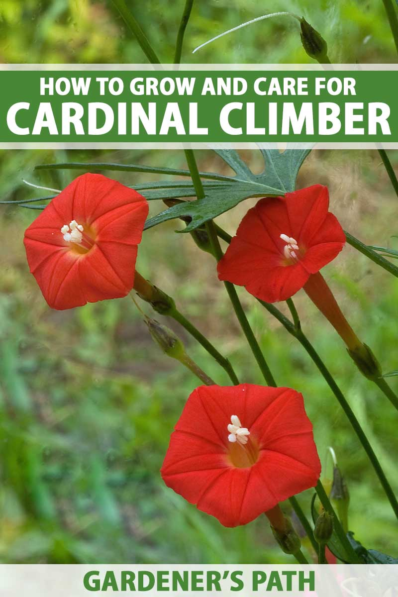 The red flowers of cardinal climber ( Ipomoea sloteri) in bloom.