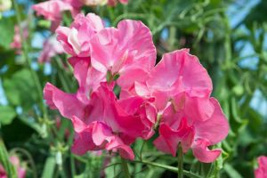 How to Harvest Sweet Pea Seeds