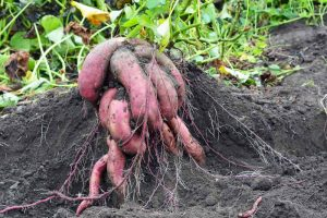 How to Harvest and Store Sweet Potatoes