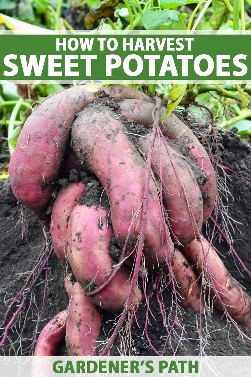 Red colored sweet potatoes freshly harvested sitting on rich garden soil.