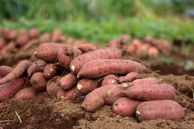 A stack of sweet potatoes that have just been harvested still sitting on garden soil.