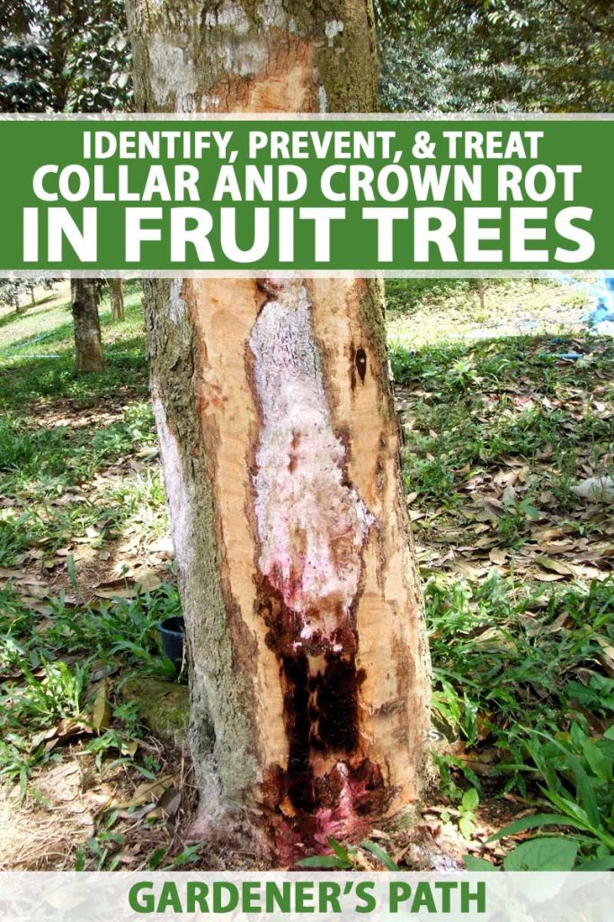 A fruit tree trunk infected with Phytophthora, a water mold which develops into crown rot. The bark and out section of the tree has been removed to show the extent of the infection.